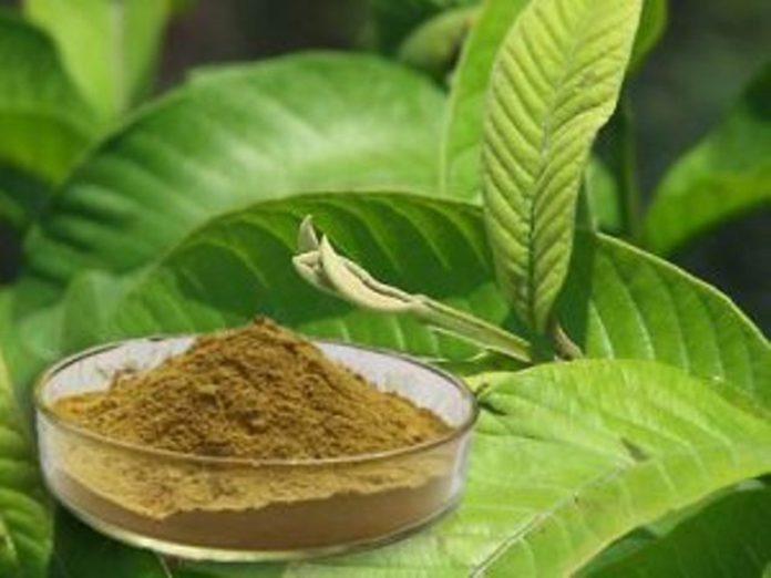 guava leaf powder 1 300x225 1